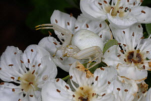 Crab spider (Misumena vatia) camouflaged on Hawthorn flowers (Crataegus sp) in May. West Wales - SINCLAIR STAMMERS