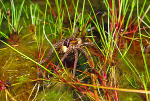 Raft spider (Dolomedes fimbriatus) warming an egg sac in the sun, amongst wetland plants. Chobham common, Surrey, England - SINCLAIR STAMMERS
