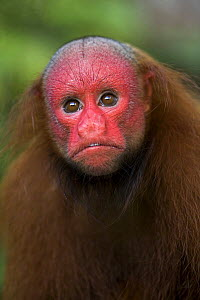 Red bald headed uakari {Cacajao calvus ucayalii} Rio Yavari, Amazonia, Peru FOR SALE IN UK ONLY  -  Ingo Arndt