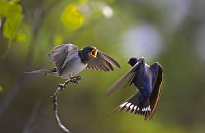 Barn swallow (Hirundo rustica) chick on branch begging adult for food. Sipoo, Finland. - Markus Varesvuo