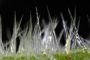 Close up of Giant Stinging Tree hairs on the leaves (Urticastrum gigas or Dendrocnide excelsa). Contact with the leaves or twigs causes the hollow silica-tipped hairs to penetrate the skin. Australia - Jurgen Freund