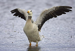 Bar-headed Goose (Anser indicus) wing-flapping in water, Norway, June  -  Markus Varesvuo