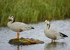 Bar-headed Geese (Anser indicus) in water, Norway, June  -  Markus Varesvuo