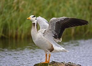 Bar-headed Goose (Anser indicus) wing-flapping, Norway. June  -  Markus Varesvuo