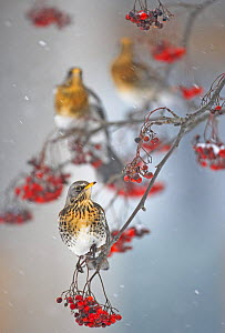 Fieldfare (Turdus pilaris) on fruit tree in snow. Helsinki, Finland. January. Overall winner in the Swiss Ornithological Institute photography competition 2013.  -  Markus Varesvuo