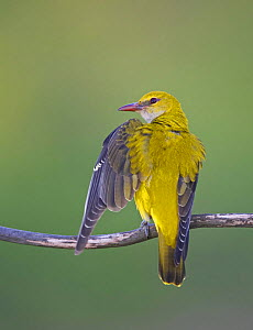 Golden oriole (Oriolus oriolus) female stretching wing. Hungary. May  -  Markus Varesvuo