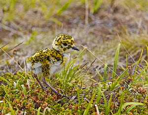 Golden Plover (Pluvialis apricaria) chick in grass. Norway. June - Markus Varesvuo
