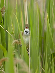 Great Reed Warbler (Acrocephalus arundinaceus) singing in reed bed. Estonia. June - Markus Varesvuo