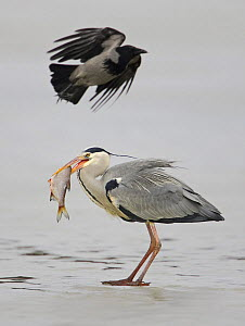 Grey heron (Ardea cinerea) with fish and Hooded crow (Corvus cornix). Porvoo, Finland. March  -  Markus Varesvuo
