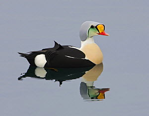 King Eider (Somateria spectabilis) duck male on water. Norway. April  -  Markus Varesvuo