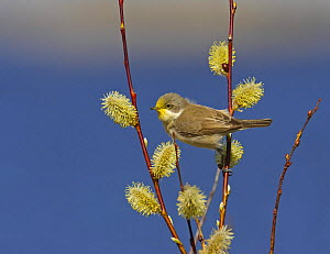 Lesser Whitethroat (Sylvia curruca) with yellow pollen stain on head from willow catkins. Porvoo, S�dersk�r, Finland. May  -  Markus Varesvuo