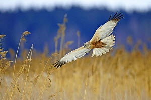 Marsh Harrier (Circus aeruginosus) in flight over reed bed. Porvoo, Finland. April - Markus Varesvuo