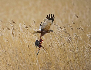 Marsh Harrier (Circus Aeroginosus) in flight over reed bed with prey item in talons. Lithuania. April - Markus Varesvuo