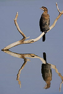 Pygmy Cormorant (Microcarbo pygmeus) perched on branch, reflected in water. Bulgaria, February  -  Markus Varesvuo