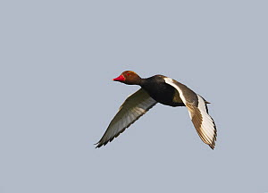 Red-crested Pochard (Netta ruffina) in flight. Hungary. May  -  Markus Varesvuo