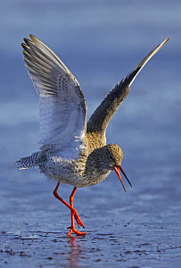 Redshank (Tringa totanus) wing stretching on water. Loviisa, Finland. May  -  Markus Varesvuo