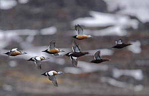 Steller's Eider (Polysticta stelleri) ducks, males and females, in flight. Norway, March  -  Markus Varesvuo