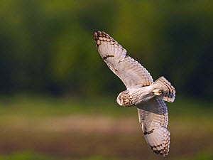Short-eared Owl (Asio flammeus) in flight. Liminka,  Finland. June  -  Markus Varesvuo
