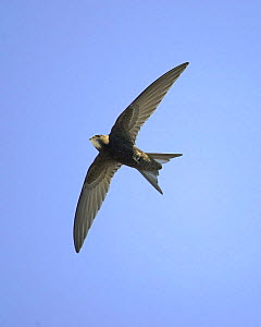 Swift (Apus apus) in flight. Helsinki, Finland. July  -  Markus Varesvuo