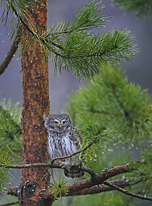 Pygmy Owl (Glaucidium passerinum) perched in pine tree. Hyvink��, Finland. January  -  Markus Varesvuo