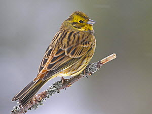 Yellowhammer (Emberiza citrinella) female portrait. Anjalankoski, Finland. March 2005 - Markus Varesvuo