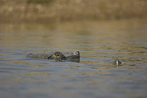 Indian gharial {Gavialis gangeticus} submerged with eyes just showing above water, Chamball river, Madhya Pradesh, India  -  Bernard Castelein