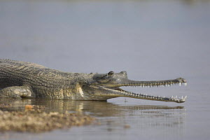 Indian gharial {Gavialis gangeticus} at waters edge with mouth open, Chamball river, Madhya Pradesh, India  -  Bernard Castelein