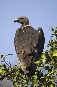 Rear-view of Indian white rumped / backed vulture {Gyps bengalensis} perching in tree, Madhav NP, Madhya Pradesh, India - Bernard Castelein