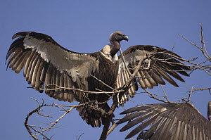 White-rumped vulture {Gyps bengalensis} with wings spread, Madhav NP, Madhya Pradesh, India - Bernard Castelein