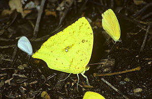 Sulphur butterfly (Phoebis rurina) puddling / drinking from damp ground in tropical dry forest, Costa Rica - PREMAPHOTOS