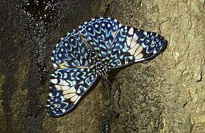 Azure cracker butterfly (Hamadryas arinome ariensis) on a tree in tropical dry forest, Costa Rica  -  PREMAPHOTOS