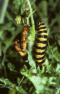 Striped caterpillar larva of Cinnabar moth (Tyria / Callimorpha jacobaea) beside a mating pair of warningly coloured Soldier beetles (Rhagonycha fulva) UK  -  PREMAPHOTOS