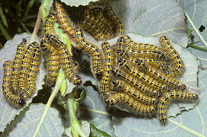 Caterpillar larvae of Buff-tip moth (Phalera bucephala)  UK - PREMAPHOTOS