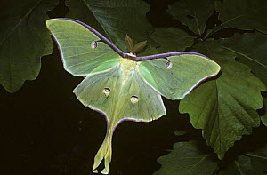 Luna / American moon moth (Actias luna) male in deciduous forest, Smokey Mts, Tennessee, USA  -  PREMAPHOTOS
