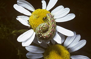 Caterpillar larva of Chamomile shark moth   (Cucullia chamomillae) UK  -  PREMAPHOTOS