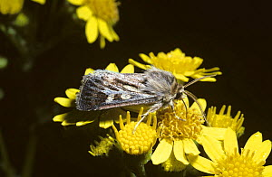 Antler moth (Cerapteryx graminis) feeding on ragwort, UK  -  PREMAPHOTOS