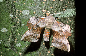 Poplar hawk moth (Laothoe populi) UK  -  PREMAPHOTOS