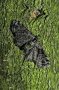 Green pug moth (Chloroclystis rectangulata) at rest on a tree, UK  -  PREMAPHOTOS
