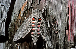 Convolvulus hawkmoth (Agrius / Herse convolvuli) with wings open to show warning colours when disturbed, Switzerland.  -  PREMAPHOTOS