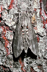 Convolvulus hawkmoth (Agrius / Herse convolvuli) with wings closed at rest, Switzerland.  -  PREMAPHOTOS