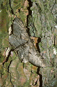 Mottled beauty moth (Alcis / Boarmia repandata) resting in daytime on a tree trunk, UK  -  PREMAPHOTOS