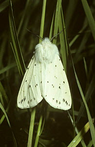 White ermine moth (Spilosoma lubricipeda) UK  -  PREMAPHOTOS