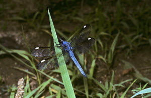 Spangled skimmer dragonfly (Libellula cyanea: Libellulidae) South Carolina, USA  -  PREMAPHOTOS