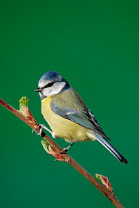 Blue tit {Parus caeruleus} on branch, Cornwall. UK  -  Ross Hoddinott