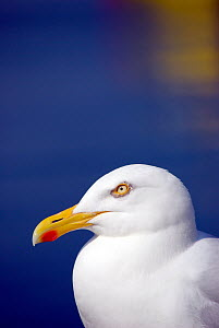 Herring Gull {Larus argentatus}, Cornwall. UK - Ross Hoddinott