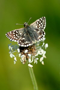 Grizzled skipper butterfly {Pyrgus malvae},  Dorset. UK - Ross Hoddinott