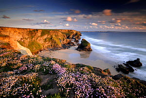 Bedruthan Steps on Cornish coast, with flowering Thrift (Armeria maritima), Cornwall.  UK  -  Ross Hoddinott