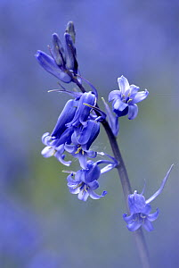RF- Bluebell (Endymion / Hyacinthoides non-scripta),  Cornwall. UK. (This image may be licensed either as rights managed or royalty free.)  -  Ross Hoddinott