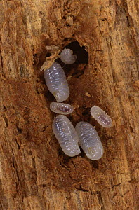 Ant larvae (Formica sp.) of varying sizes in rotten wood.  -  Duncan Mcewan