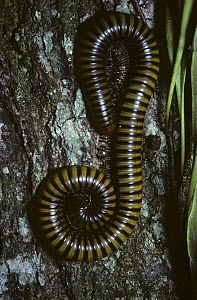 Giant 25cm long millipede {Diplopoda} on a tree in rainforest, Thailand  -  PREMAPHOTOS